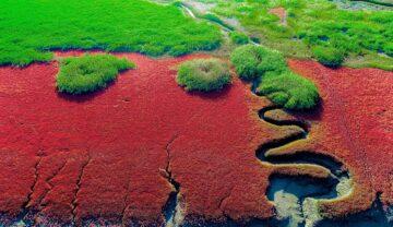 Plaja Roșie din China, vedere din cer. În stânga e o potecă întortocheată printre plantele rșii, în partea de sus e verdeață. Imagini inedite cu Plaja Roșie au devenit cunoscute în toată lumea